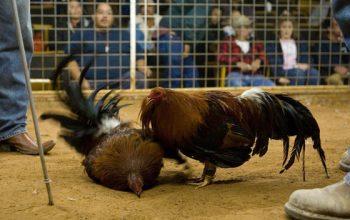 Situs Sabung Ayam Terkenal