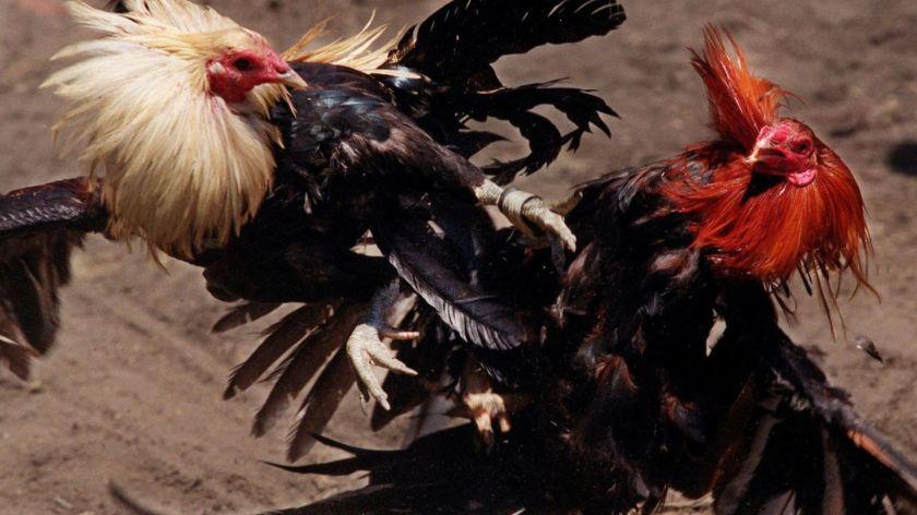 Sisi Kaki Ayam Bangkok Yang Diminati