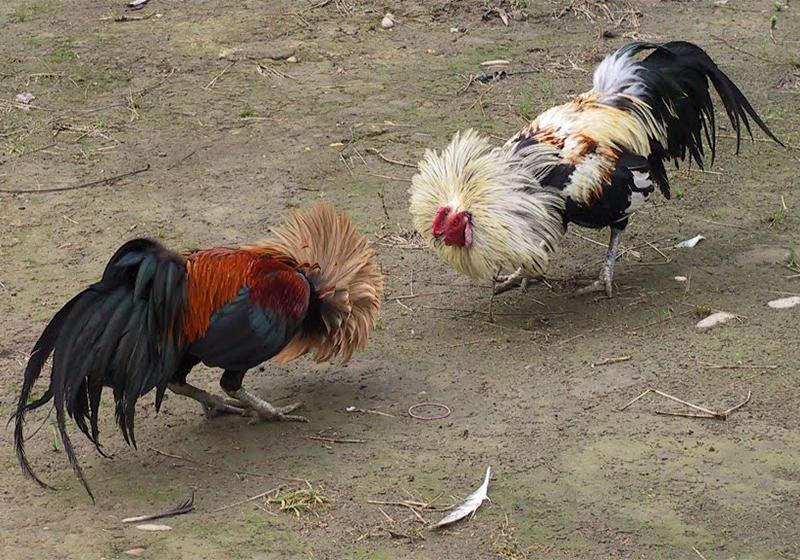 Jenis Skill Ayam Bangkok