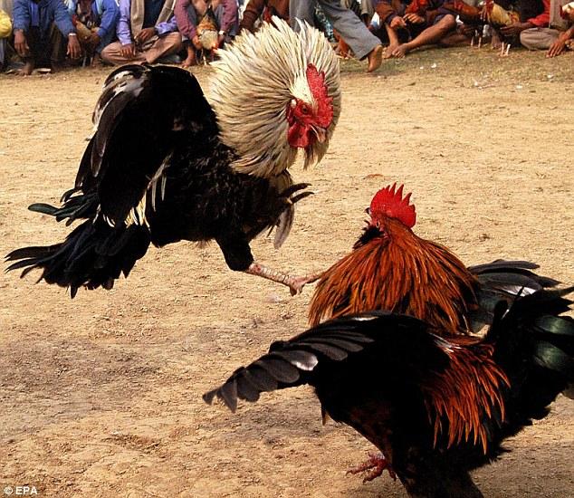 Manfaat Tepung Daun Turi Untuk Ayam Laga