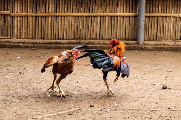 Teknik Pukulan Mematikan Ayam Bangkok