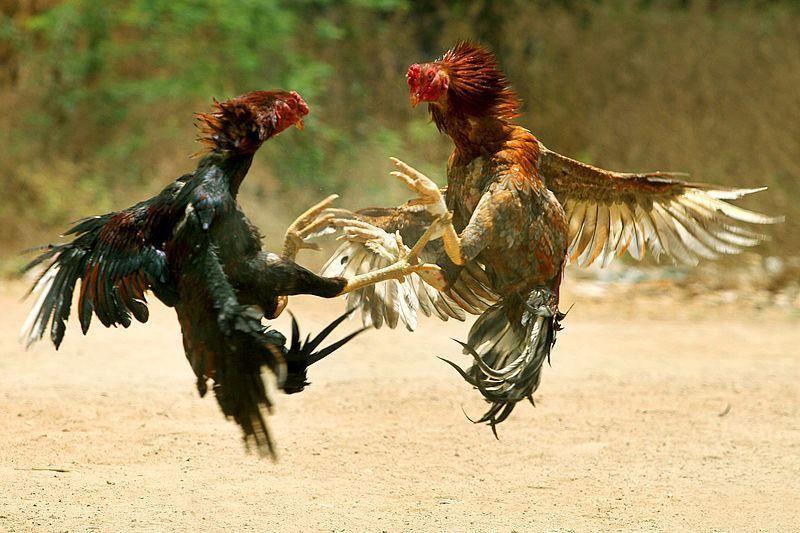 Keunikan Sisik Naga Pada Ayam