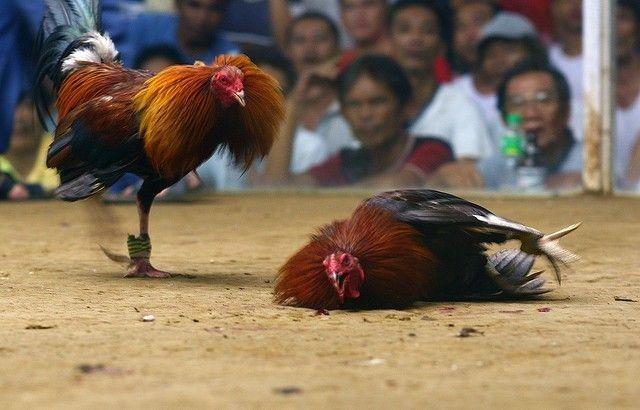 Perhatikan Stamina Agar Ayam Kuat Berlaga