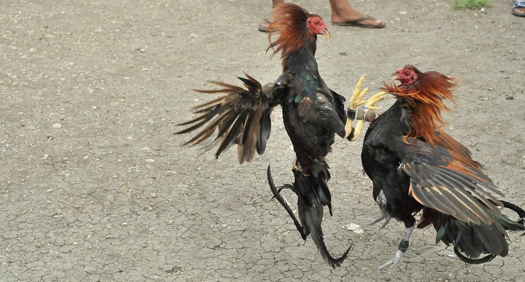 Ciri Khusu Ayam Klawu Skandinavia