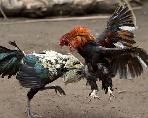 Keunikan Ayam Brugo Hias